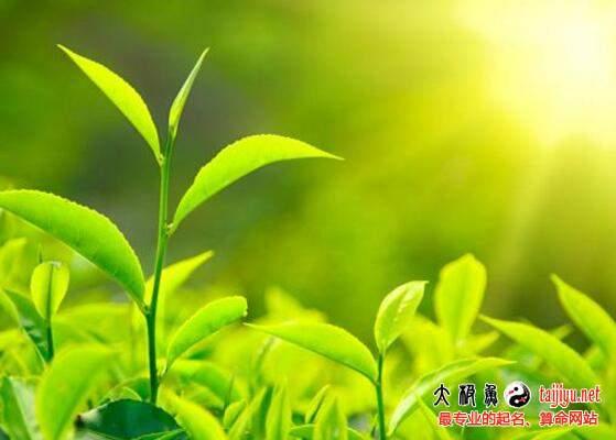茶叶公司起名取名大全