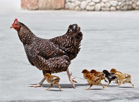 鸡宝宝起名